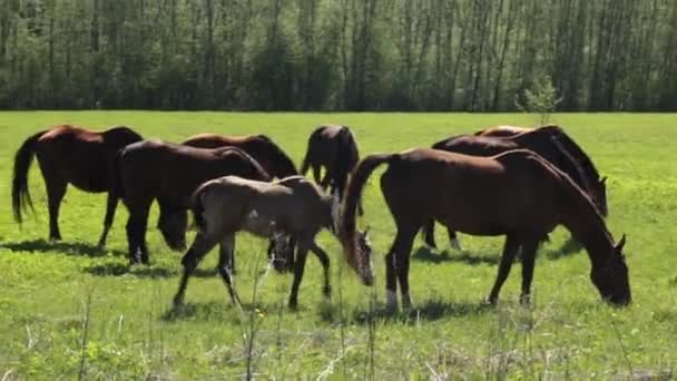 sok szürke és barna ló lassan legelnek szabad a pályán az erdő mentén, a nyári napsütéses napon