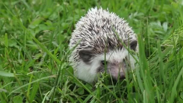 little cute home decorative hedgehog runs on green grass looking for food