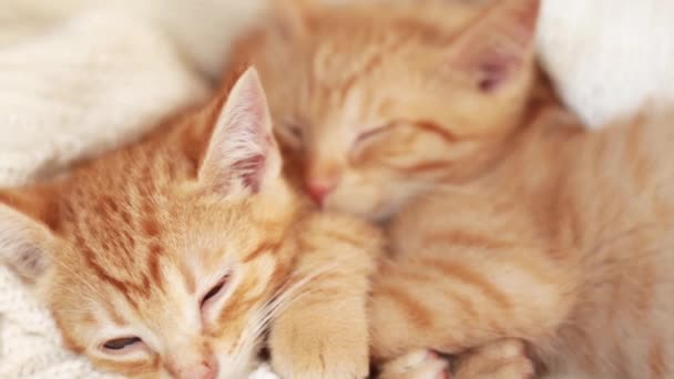 Ginger kittens sleeping on a knitted white blanket. Two cats hugging.