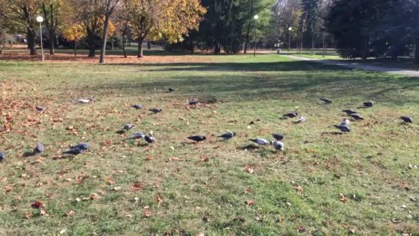 Dove, pigeons eat seeds in the grass of the park. Beautiful flock of pigeons in the town park. Feeding.