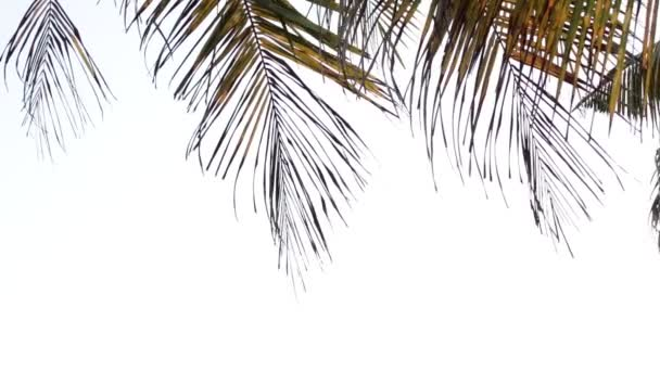 Palm leafs blowing by the wind on a white background.
