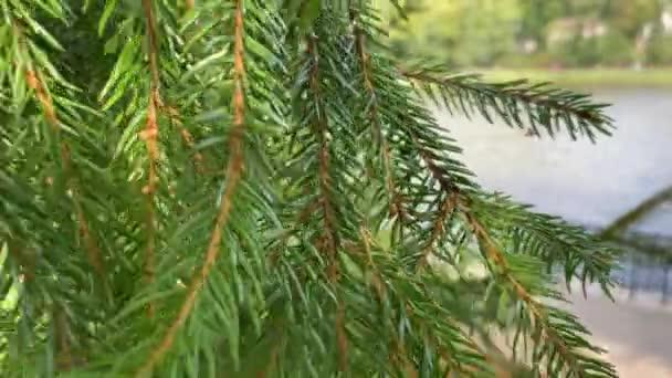 Spruce close up. Beautiful green botanical background. Fall time.