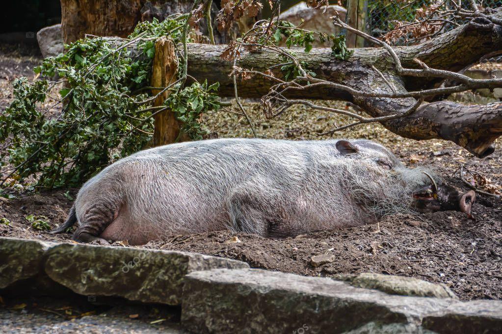 Warthog lies and sleeps under a tree under the summer sun.