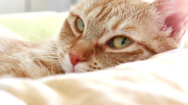 Krásná domácí evropské žlutý zázvor kočka leží v posteli
