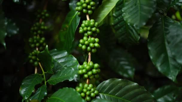 Kaffee Arabica dunkel grünen Wildkaffee In der Natur