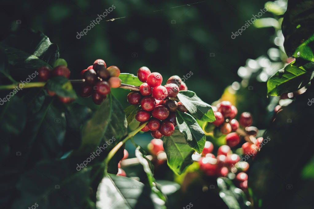 red cherry coffee beans Arabica In nature