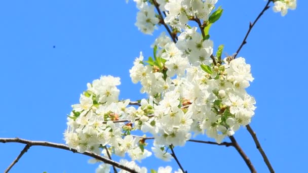 Tavasszal virágzó meggyfa ág. Cseresznyevirág tavasszal. Fehér virágok cseresznye fa