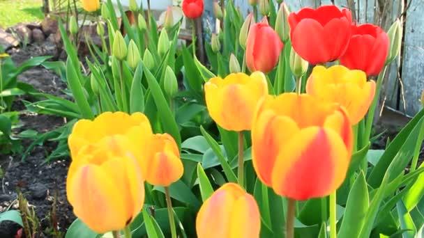 Tulipanes Amarillos Rojos Sobre Lecho Flores Abril Tulipanes Rojos