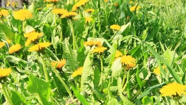 Yellow dandelions grow in green grass. Spring flowers in sunny rays. Wonderful spring day