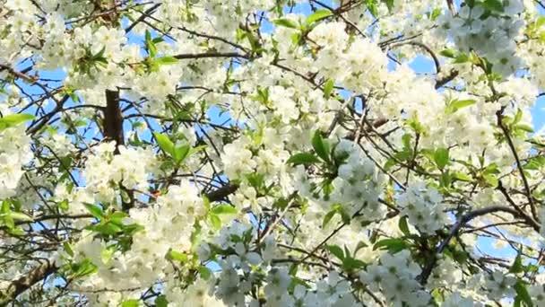 Na jaře kvetoucí třešně. Pobočka Kvetoucí třešeň na jaře. Bílé květy o třešňový strom kvetoucí v zahradě. Jarní zahrada