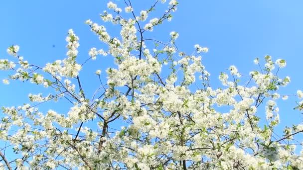 Kvetoucí třešeň na pozadí modré oblohy. Na jaře kvetoucí třešně. Pobočka Kvetoucí třešeň na jaře. Bílé květy o třešňový strom kvetoucí v zahradě. Jarní zahrada