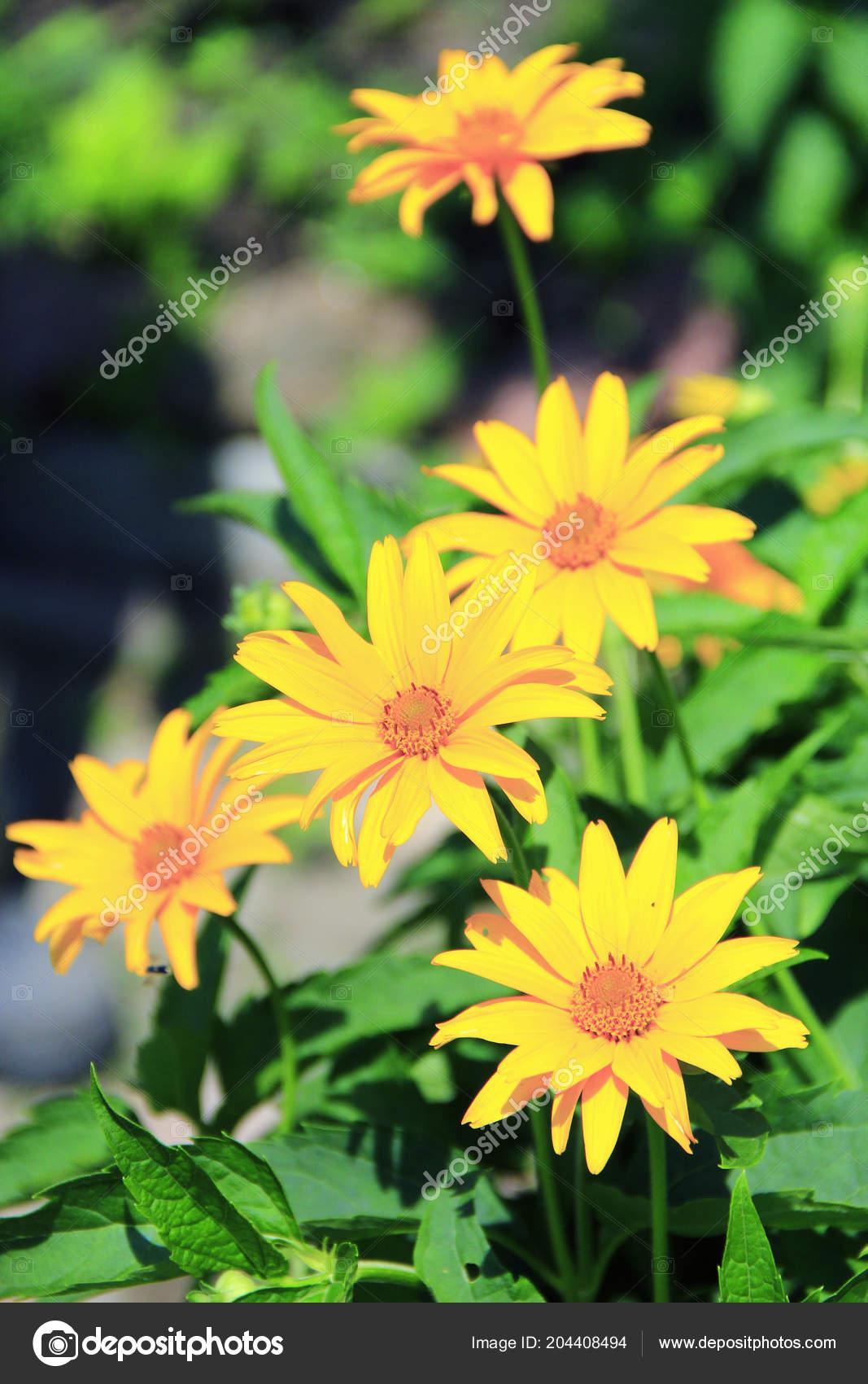 Rudbeckia laciniata qui fleurit dans le jardin. Jaunes grosses fleurs  floraison dans le jardin. Fleurs jaunes \u2014 Image de alexmak72427