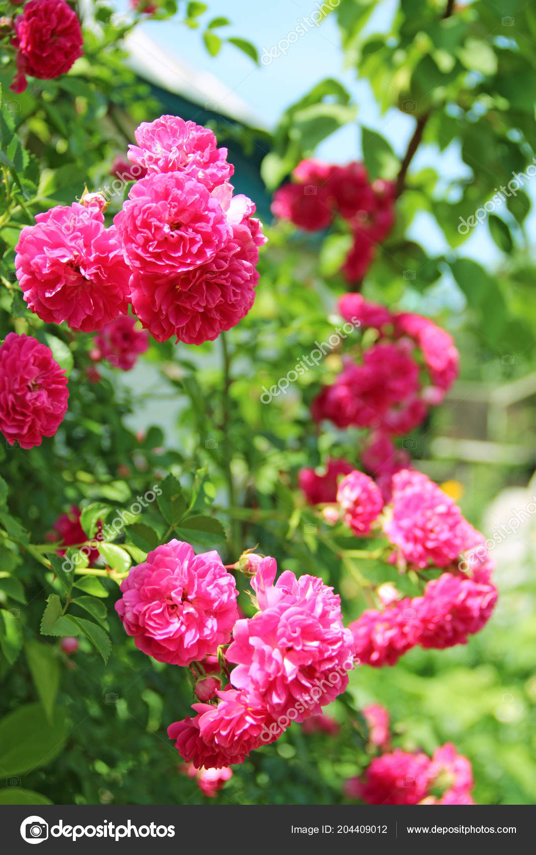 Red Flowers Climbing Rose Bloom Garden House Beautiful Roses Growing — Stock Photo