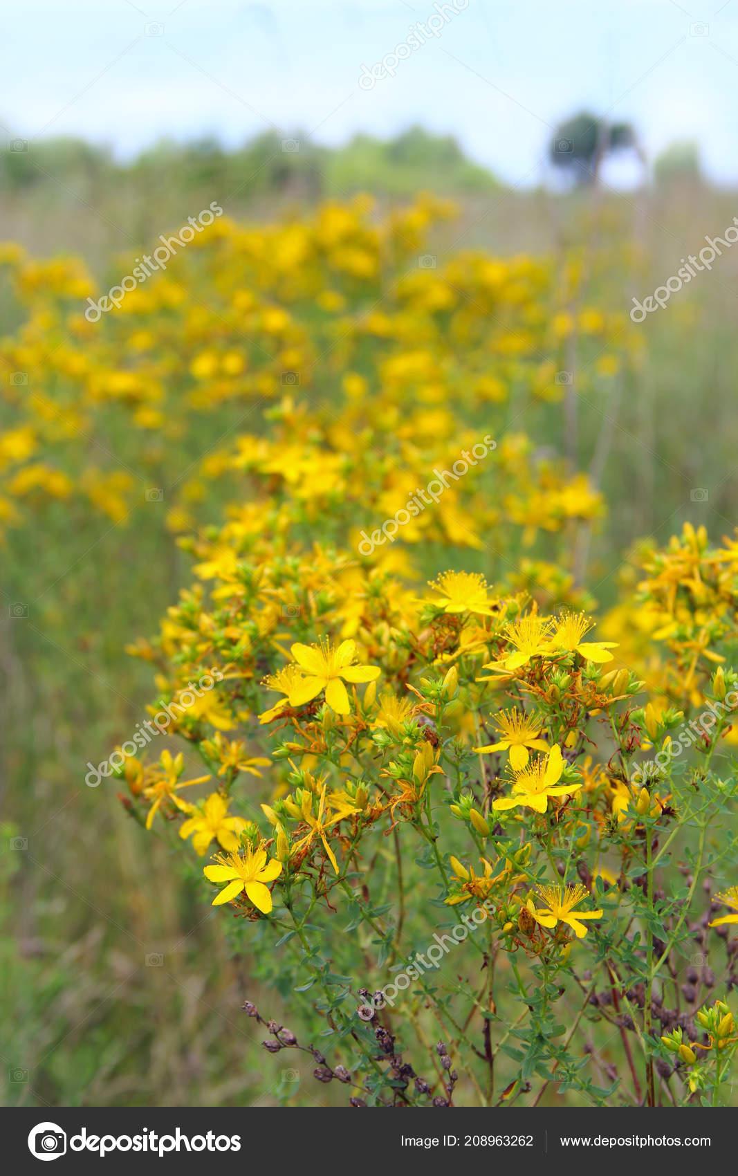 Flores Amarillas Medico San Juan Mosto Flor Campo Flores Medicinales