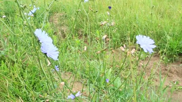 Beautiful blue flowers of Cichorium blooming at rural path. Medicinal flowers grow near road in field. Medicinal plant