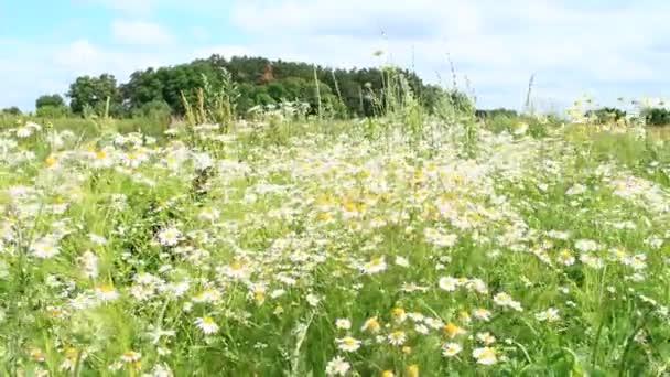 Virágai fehér gyönyörű chamomiles, virágzó mező-erdő közelében. Nyári chamomiles. Növényi virágok