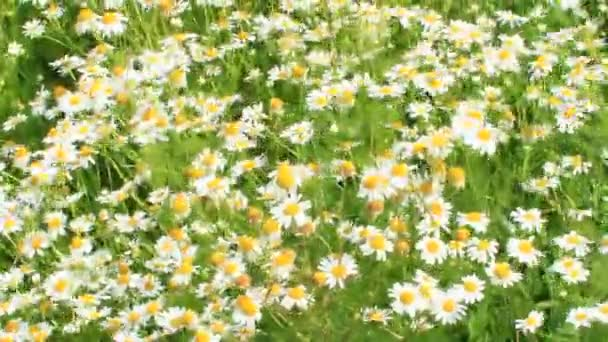 Flowers of white beautiful chamomiles blossoming in field. Summer chamomiles. Herbal flowers