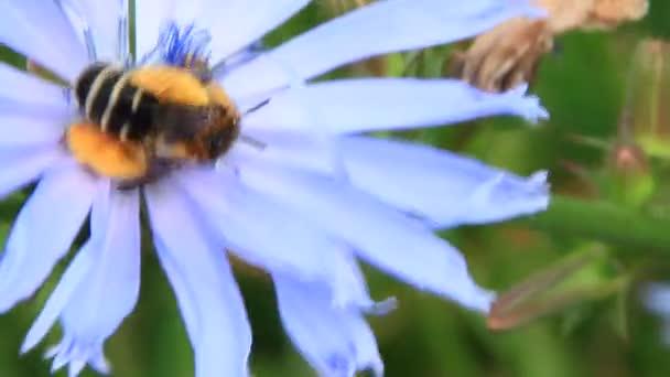 Makró méh lila Cichorium virágzó virág ül. Közös méh. Közelkép a kis méh virágportól a Cichorium kényes virág. Hasznos rovar
