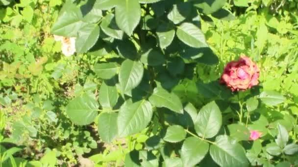 Bush rudých růží, rostoucí v zahradě. Červené růže květ v letní zahradě. Krásné květiny růže kvetoucí v buši. Připravené Kytice růží. Krásné květiny květ v zahradě