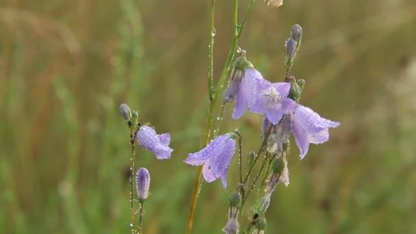 Zvonky v kapkách rosy. Květiny campanula. Krásné fialové květy zvonky pokryta kapky ranní rosy. Ranní chlad. Kvítí za úsvitu. Květiny s kapkami vody
