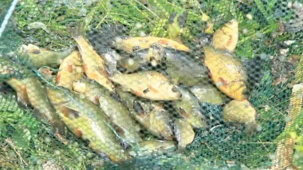Fogott compó és a Kárászok. Sikeres horgászathoz. Gazdag halak fogás. Szerencsés halászat. Kifogott halak után szerencsés halászat. Kárász Kárász háló fogott halak. Orvvadászat