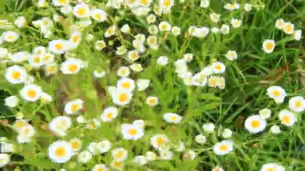 White wild chamomiles blossom in summer field. Beautiful white chamomiles. Chamomile flowers. White field flowers in summer closeup