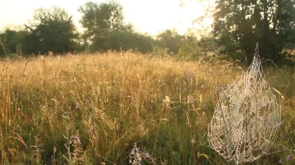Rostlina je zabalena v mokré web za úsvitu. Rosa na pavučina. Letní květy v sadě webových souborů. Kulturní dům pavouk žijící v létě oblasti mezi traviny. Kapky vody na pavučina