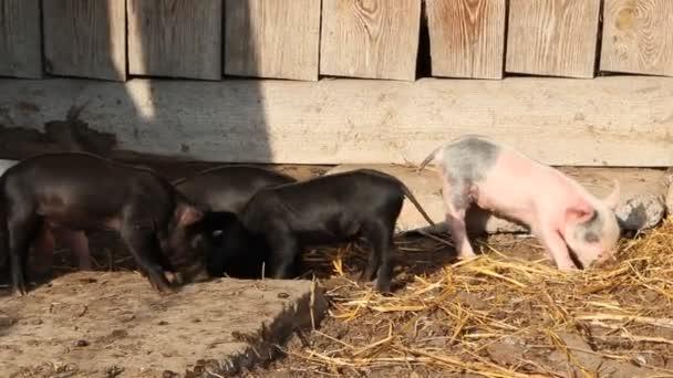 Selata hraní a jolly v hospodářský dvůr. Legrační prasata. Selata Baby hrát v zahradě