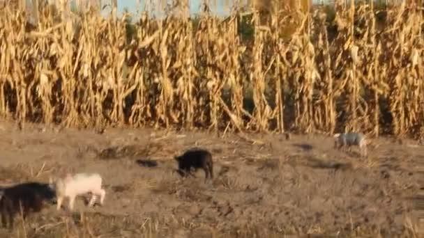 Malacok jolly futtassa az ültetvény között tyúkszem Farm. Vicces sertések. Malacok baba játszani udvarban