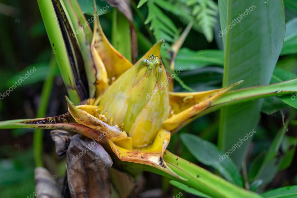Side view of Golden Lotus or Dwarf Banana also known as Musella lasiocarpa from the South-western Yunnan Province in China