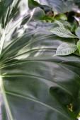 velké tmavě zelené listy fialové jahodový guave, psidium littorale longipes
