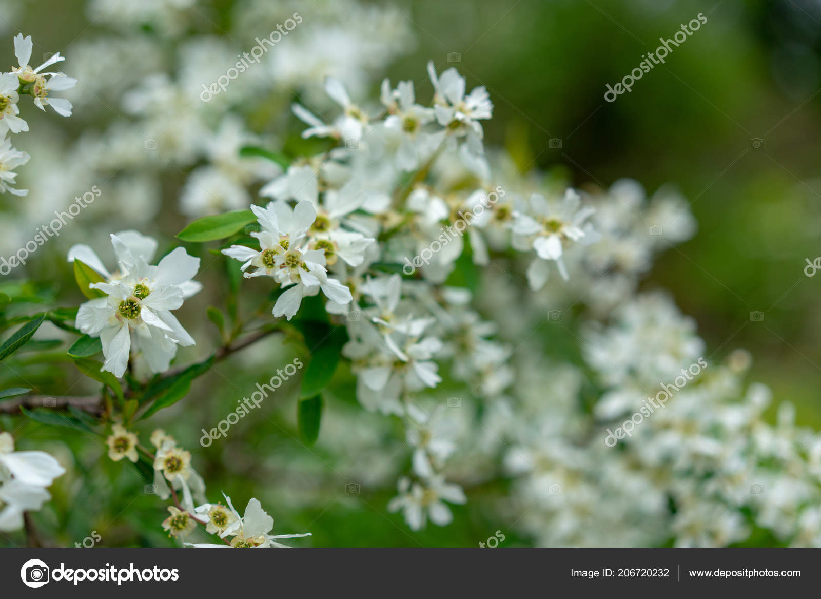 Blooming Plant With White Flower Buds Exochorda Korolkowii Stock