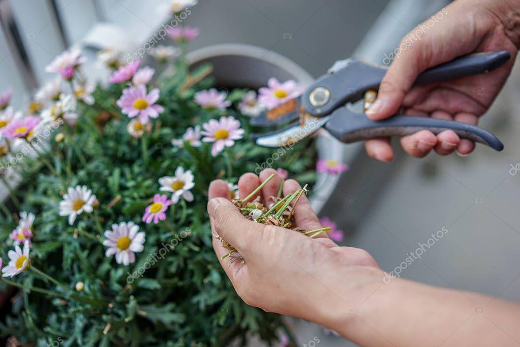 A Gardener is cutting a flower, hand and scissor close up view