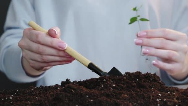 seedling growth female hands planting sapling soil