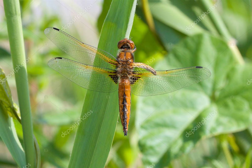 A Scarce Chaser, Libellula fulva, with one wing failing to expanded after emergence from the Larva stage.