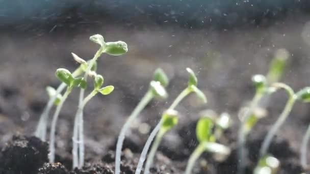 Zalévání zeleného a malého kapusty na zemi