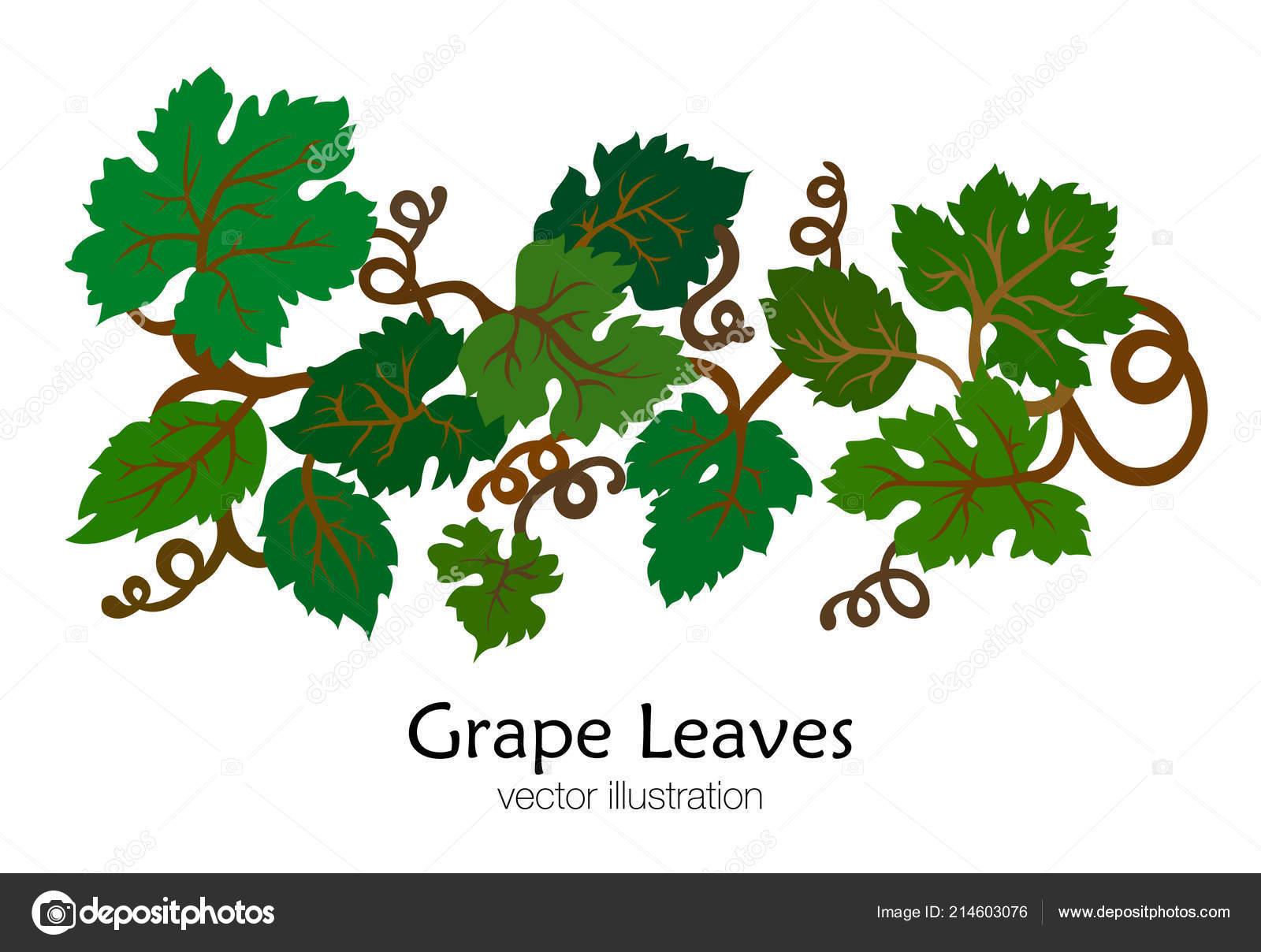 Pobocka Zelene Vinne Listy Rucne Kreslene Vektorove Ilustrace