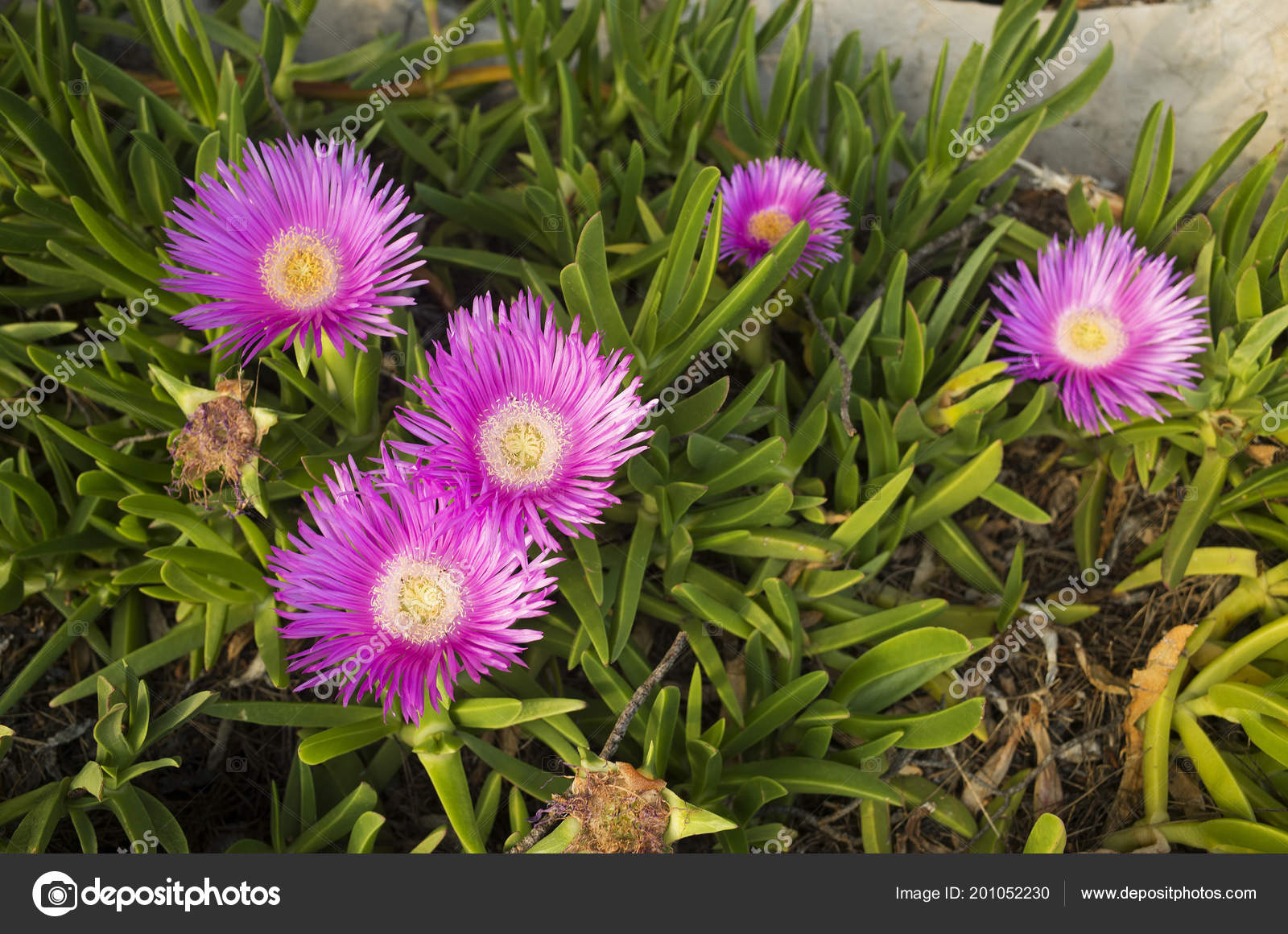 Details Beautiful Purple Yellow Flowers Croatia Sunny Spring Day