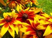 bumblebee on rudbeckia flower macro photo