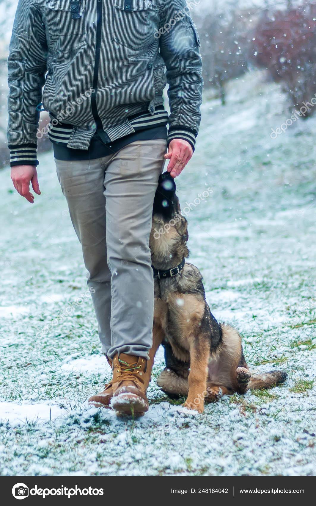 German Shepherd Puppy Training At Winter Stock Photo C R3dsnake 248184042