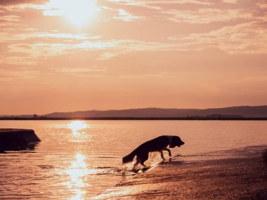 A dog running out of a lake during the sunset