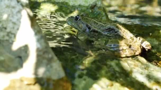 Blick auf einen Sumpffrosch, der an einem Sommertag im wogenden Wasser eines Sees ruht.