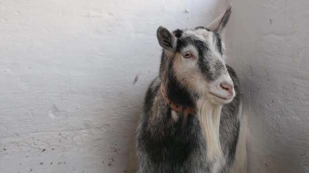 A közeli felvételen egy kecske áll és körülnéz a pajtában..