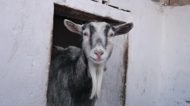 Kozy jedí seno ve stodole..