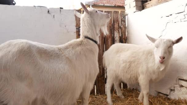 Kozy stojí a rozhlížejí se po stodole..