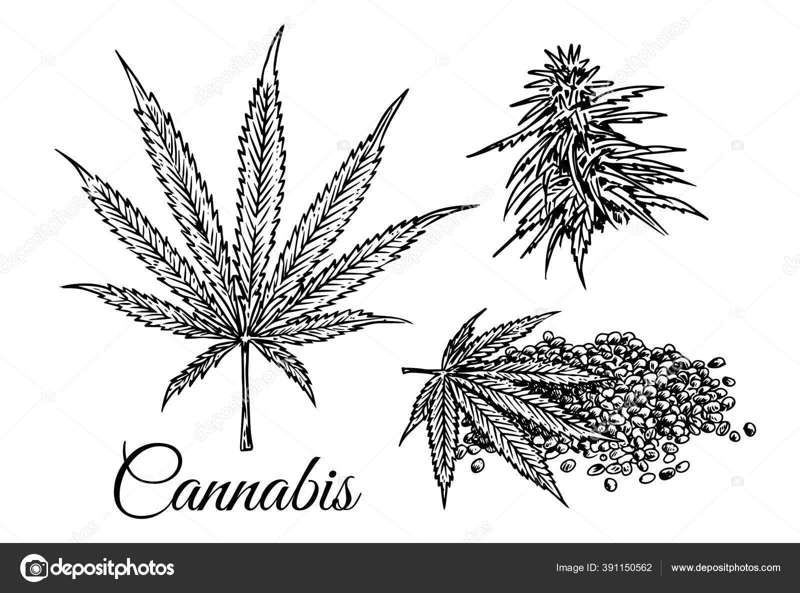 Marijuana Leaf Marijuana Bud Seeds Drawing White Background Hemp Plant Stock Vector C Rexandpan 391150562