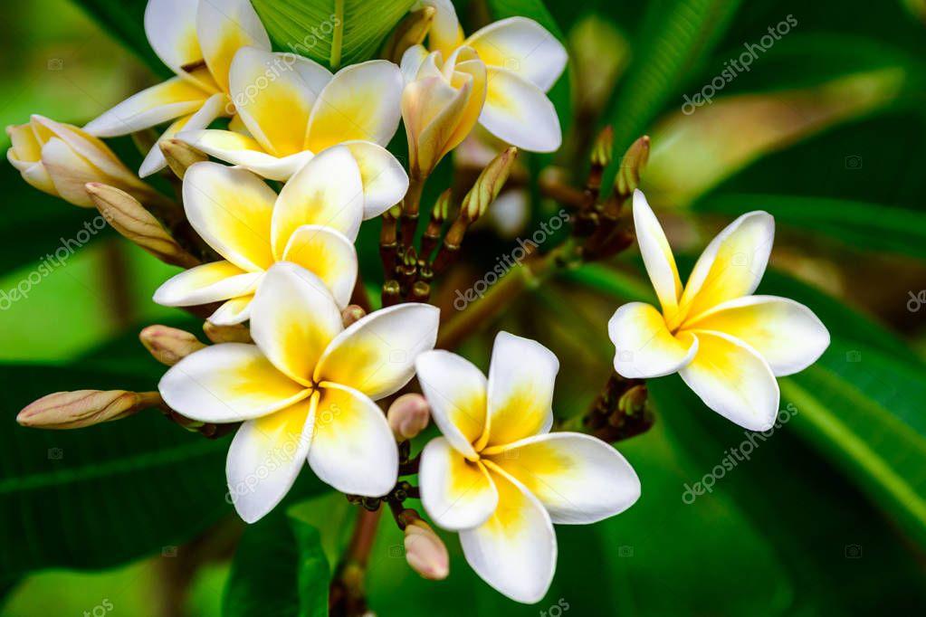 Photo of white yellow flowers plumeria