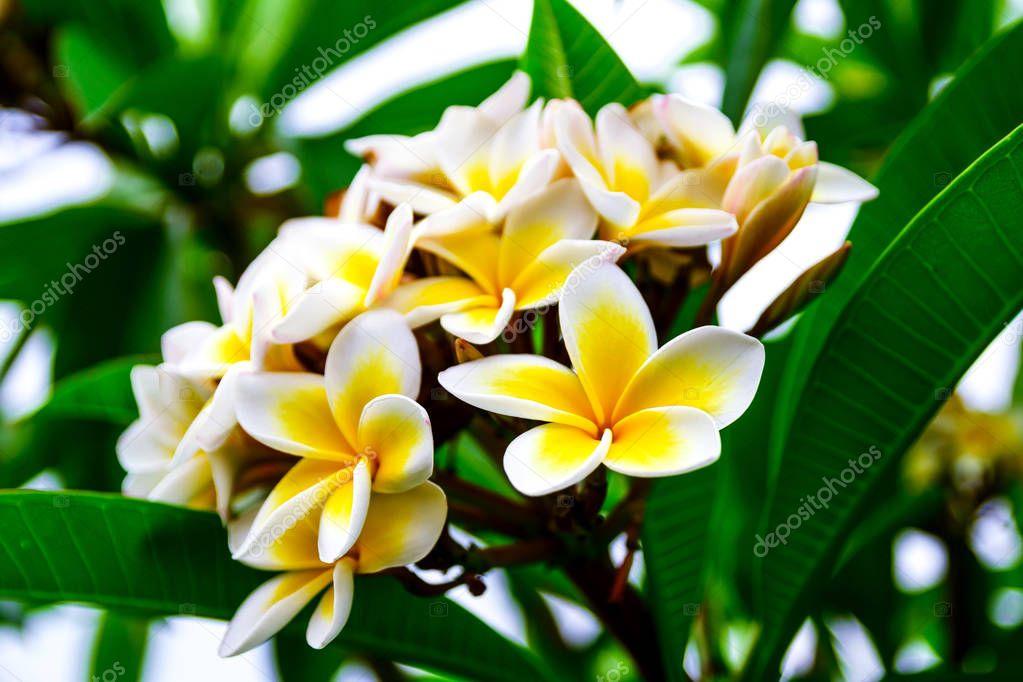 Photo of white yellow flowers branch plumeria