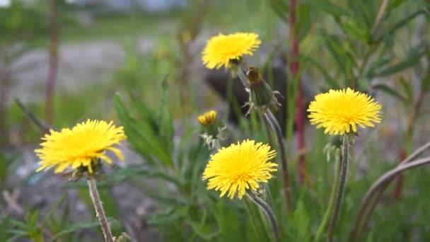 Jasně žluté divoké pampeliška květy na větru na jaře nebo na začátku letního dne