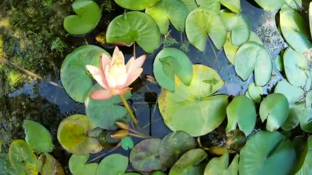 Gyönyörű Lilly (Nymphaeaceae, tavirózsa, liliom, Nymphaea Alba) virágzó tó. Szépségének virágzik rózsaszín lótusz virág Zöld levél háttér
